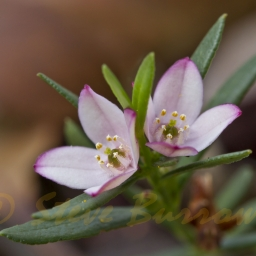 Image courtesy of Steve Burrows - Boronia sp