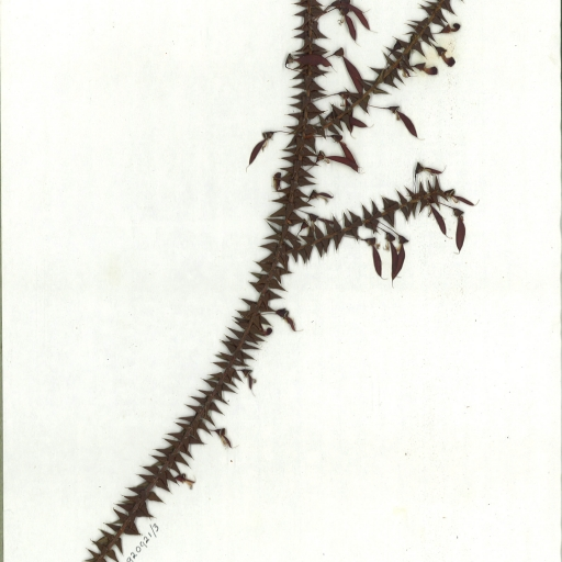 Scanned image of herbarium image of Bossiaea cinerea