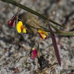 Image courtesy of Steve Burrows - Bossiaea ensata