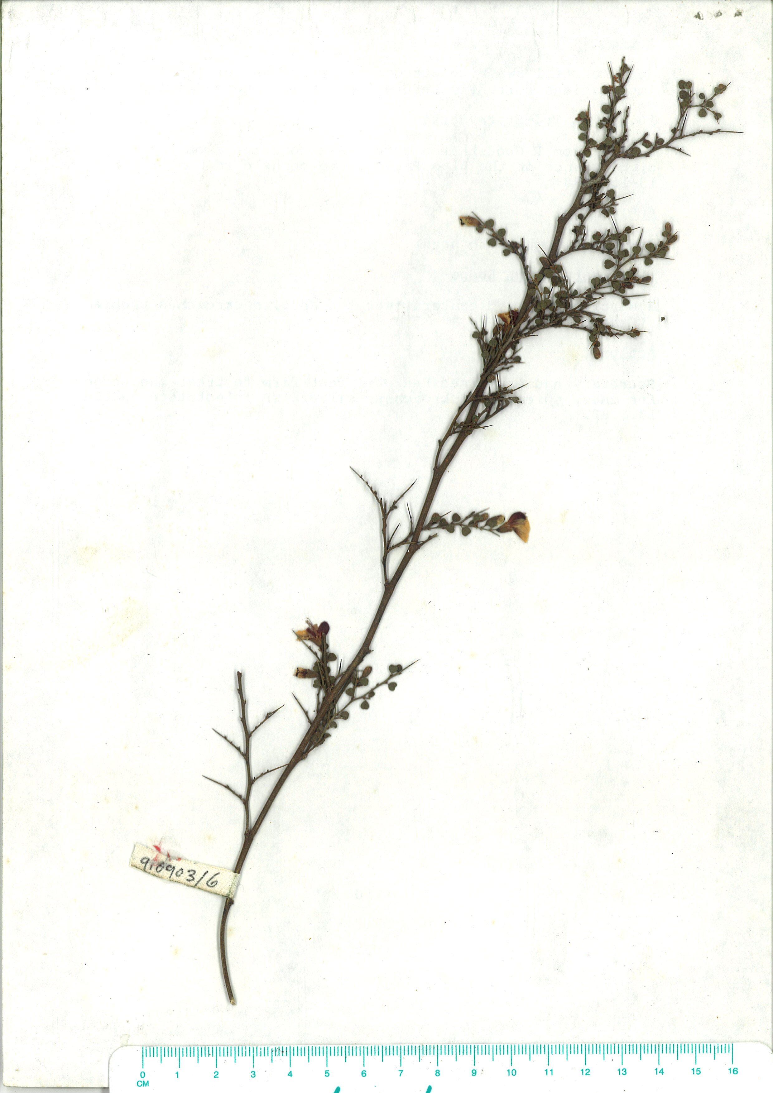 Scanned image of herbarium image of Bossiaea obcordata