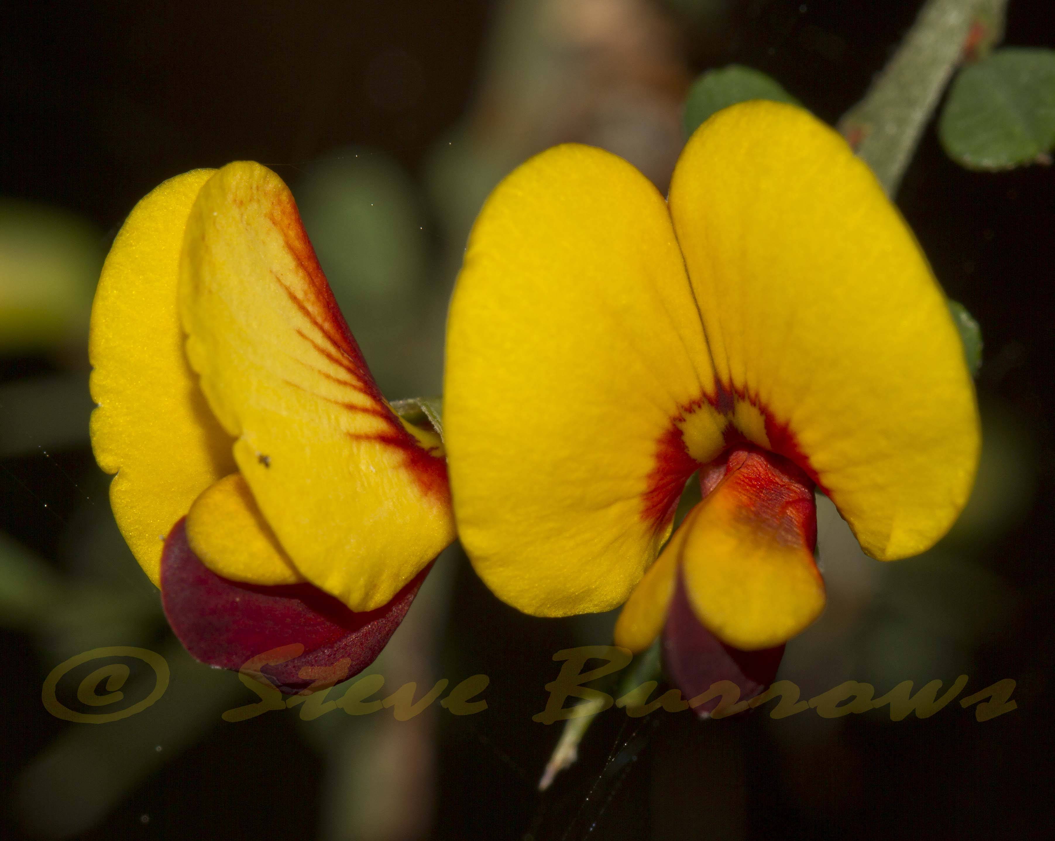 Image courtesy of Steve Burrows - Bossiaea obcordata