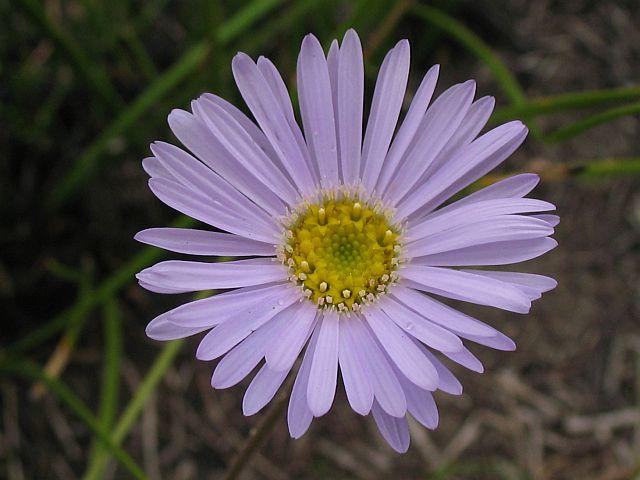 Image courtesy of Plant Database Brachyscome_spathulata
