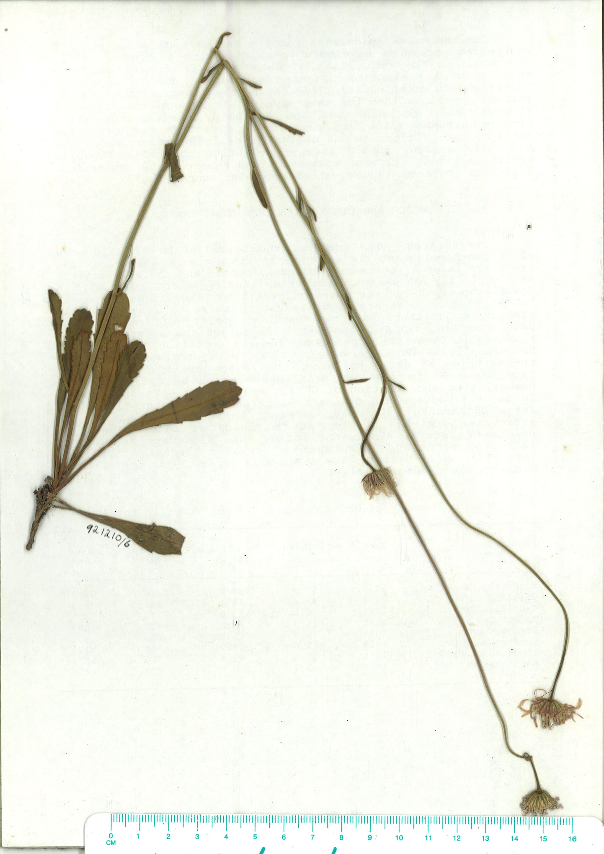 Scanned image of herbarium image of Brachyscome spathulata