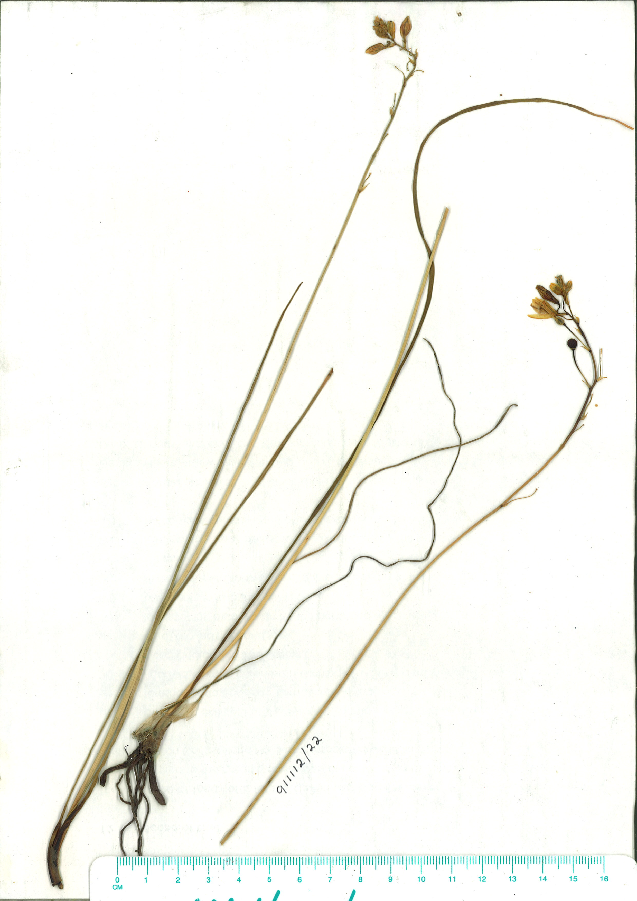 Scanned herbarium image of Bulbine semibarbata