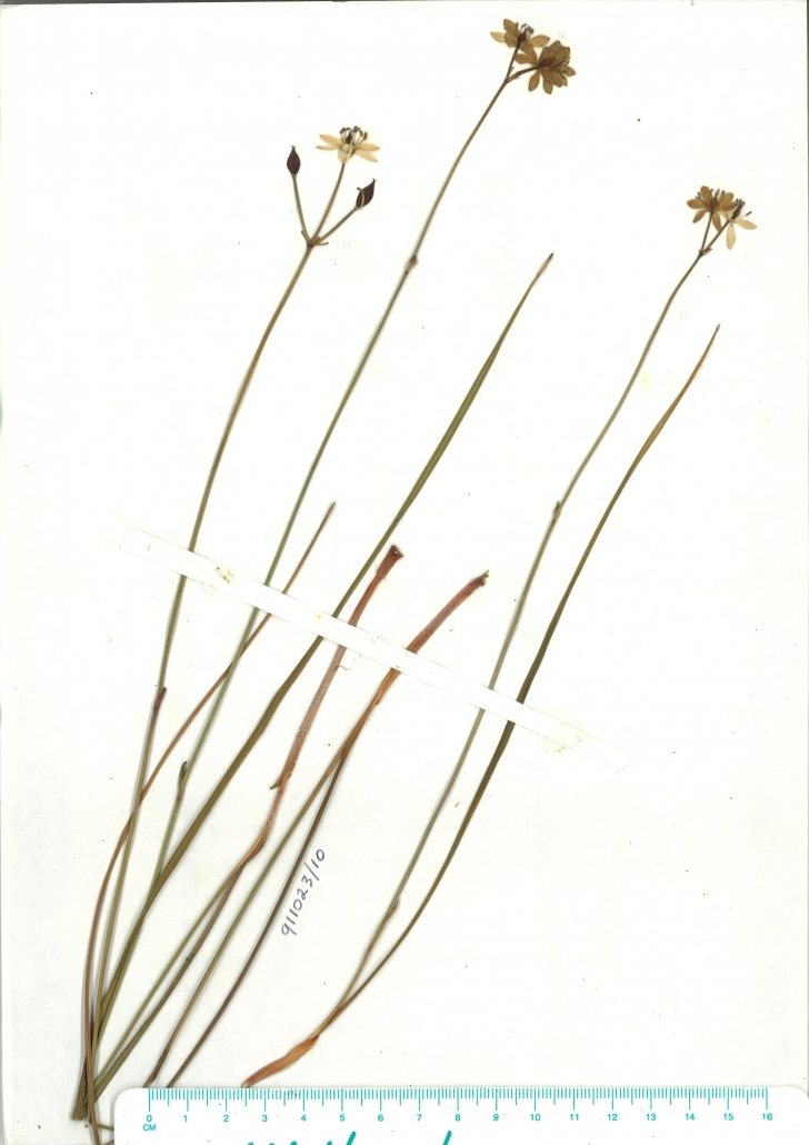 Scanned herbarium image of Burchardia umbellata