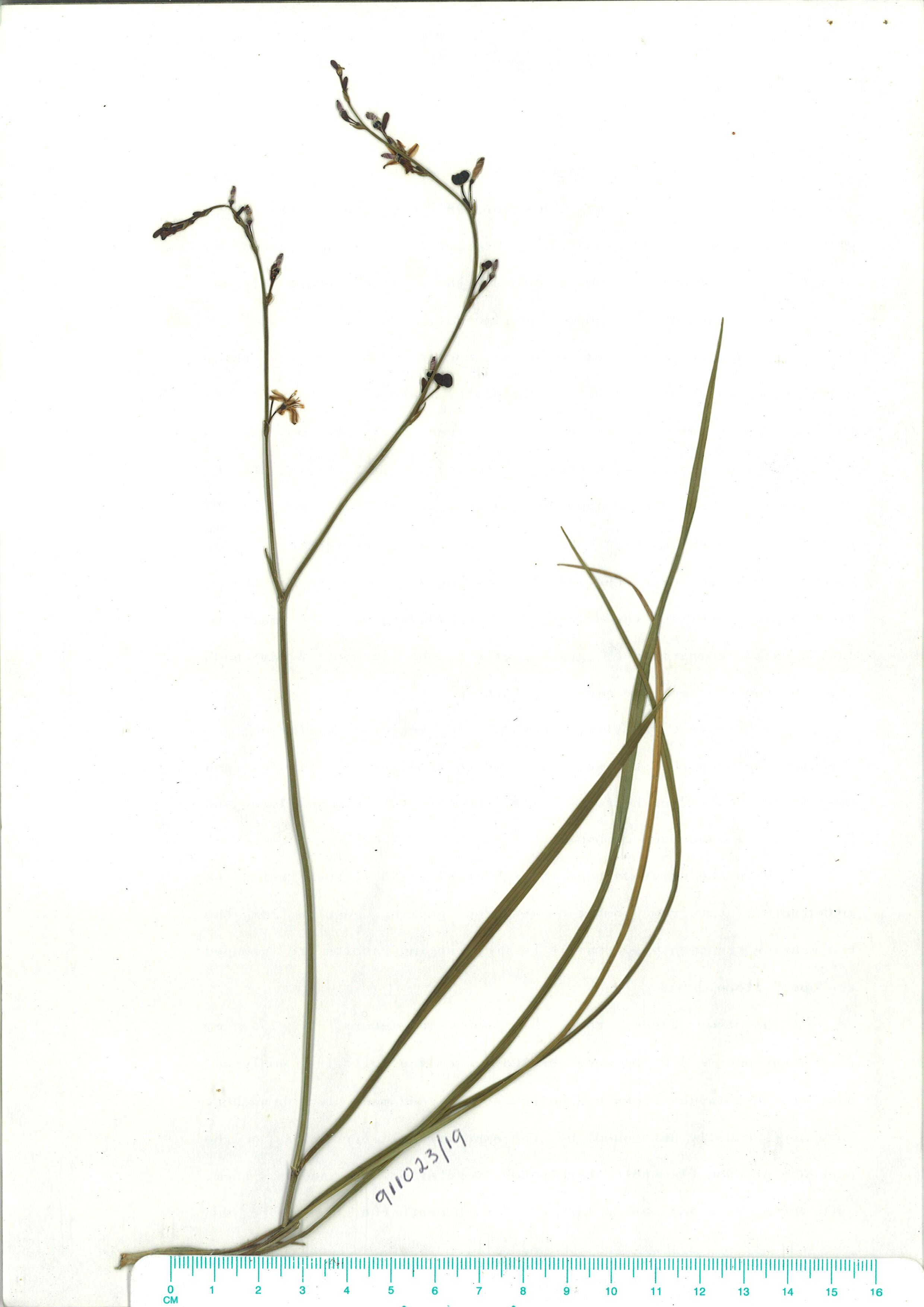 Scanned herbarium image of Caesia parvifloravar-vittata