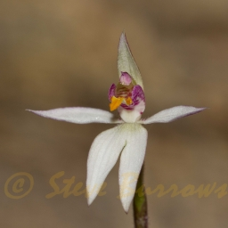 Image courtesy of Steve burrows Caladenia alata