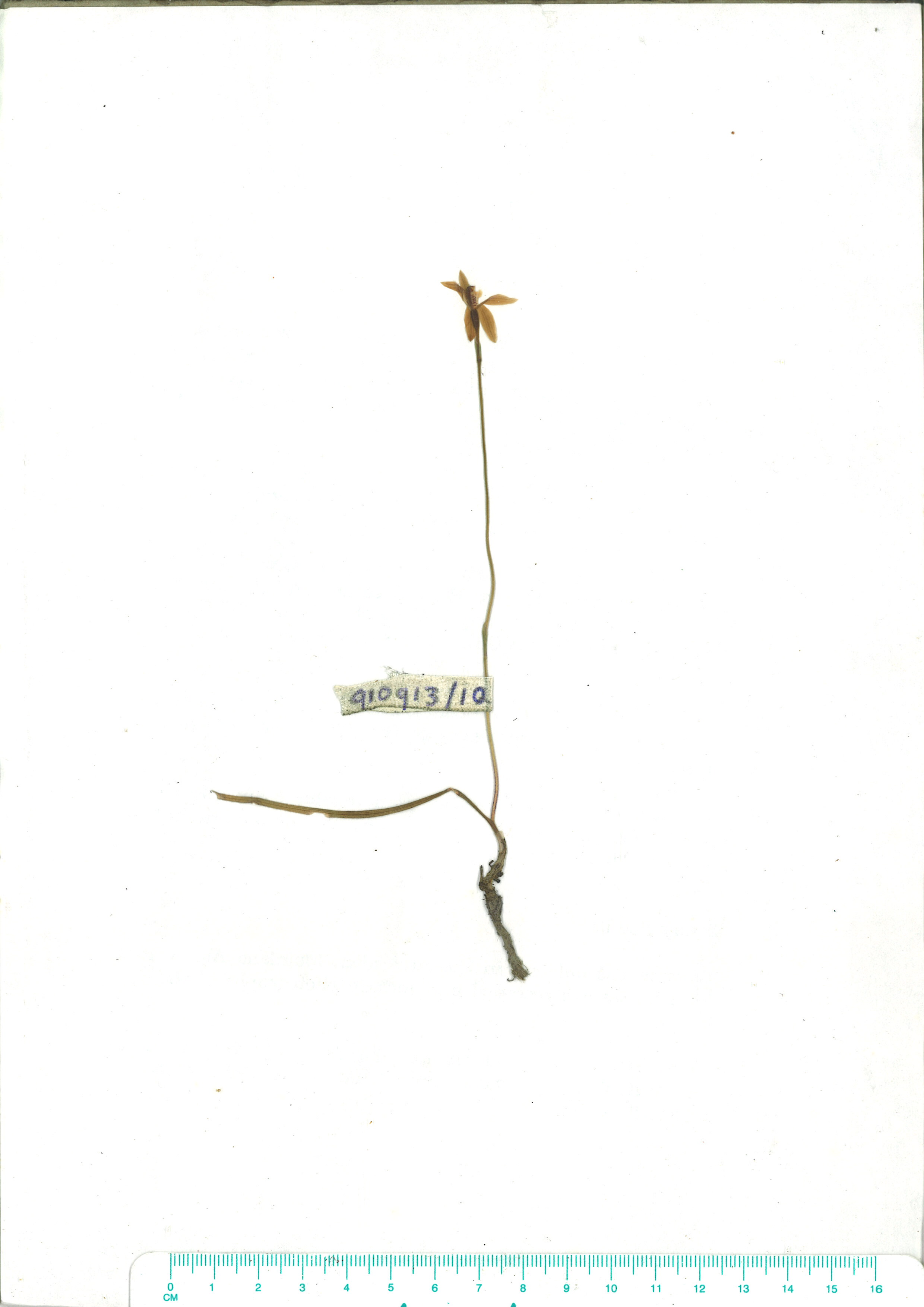 Scanned herbarium image of Caladenia carnea