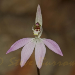 Image courtesy of Steve Burrows Caladenia carnea