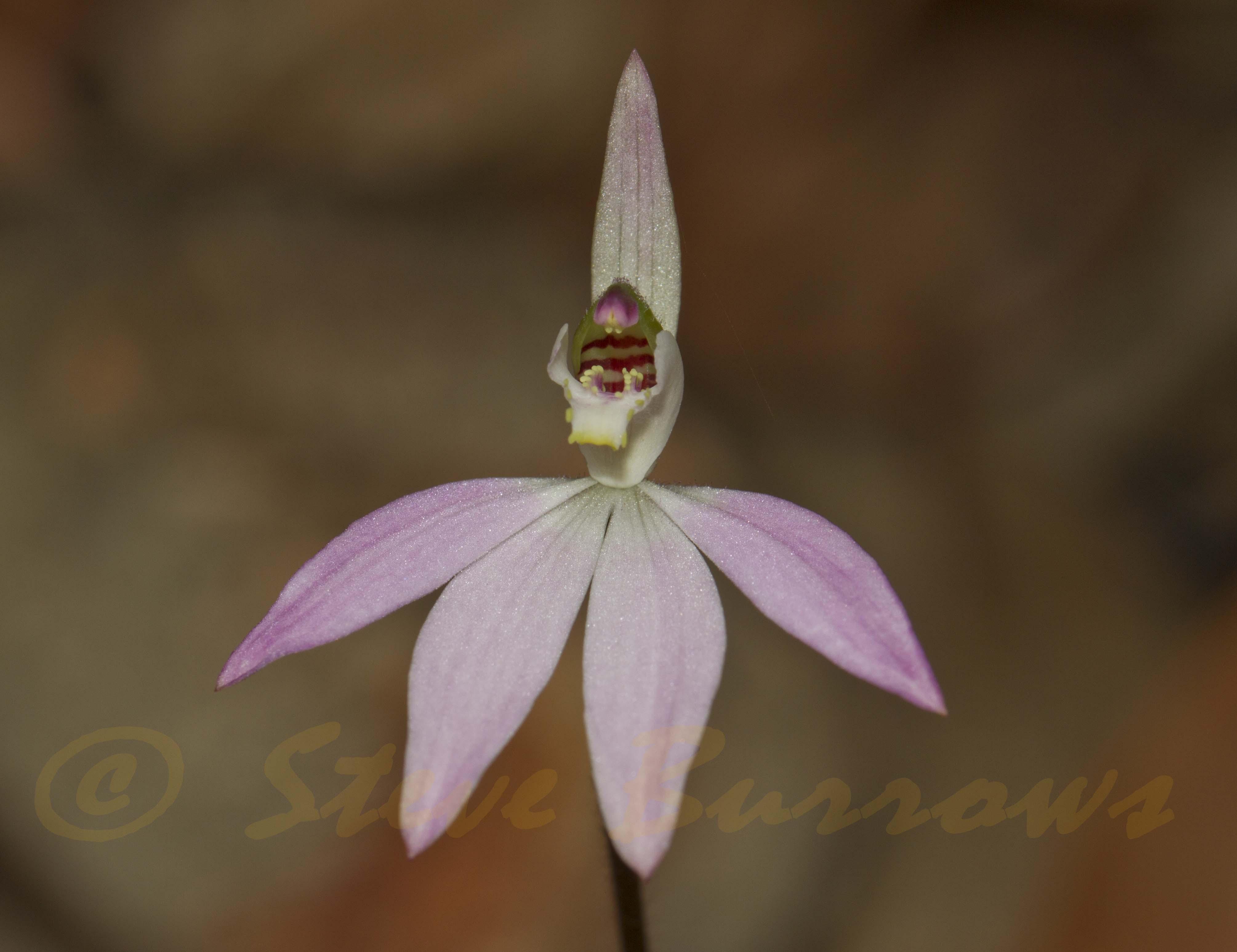 Image courtesy of Steve Burrows Caladenia carnea