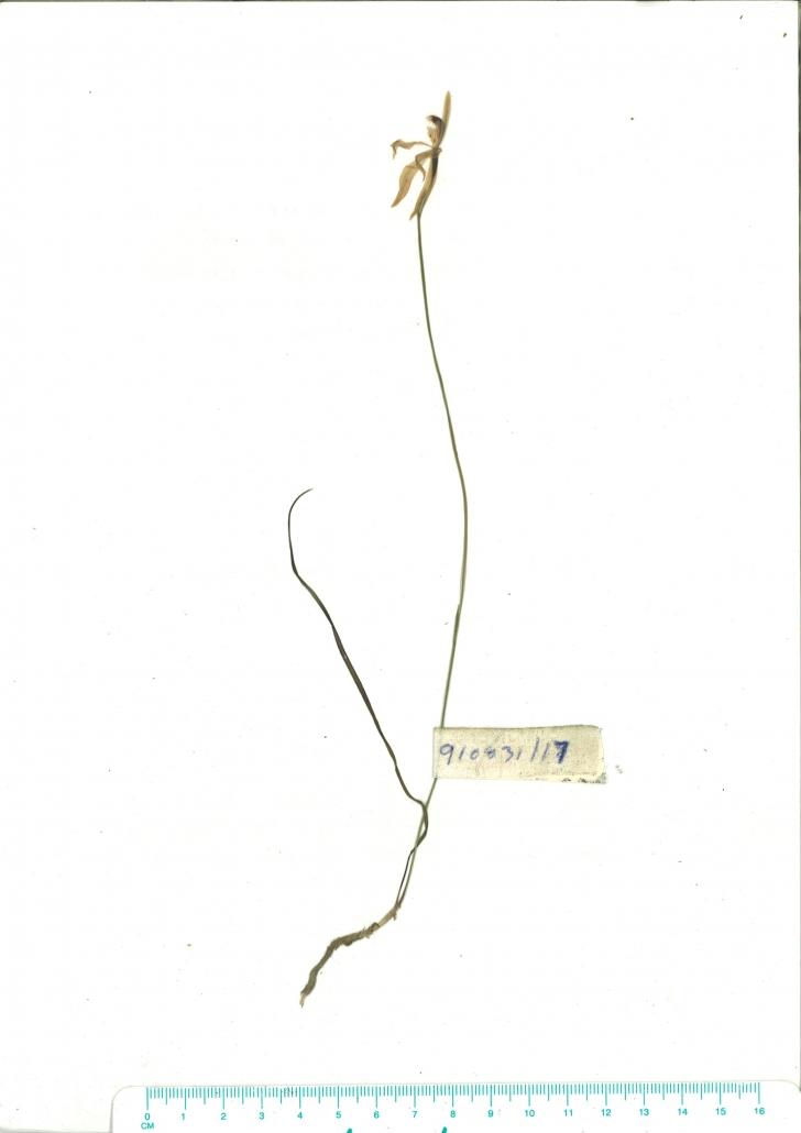 Scanned herbarium image of Caladenia catenata