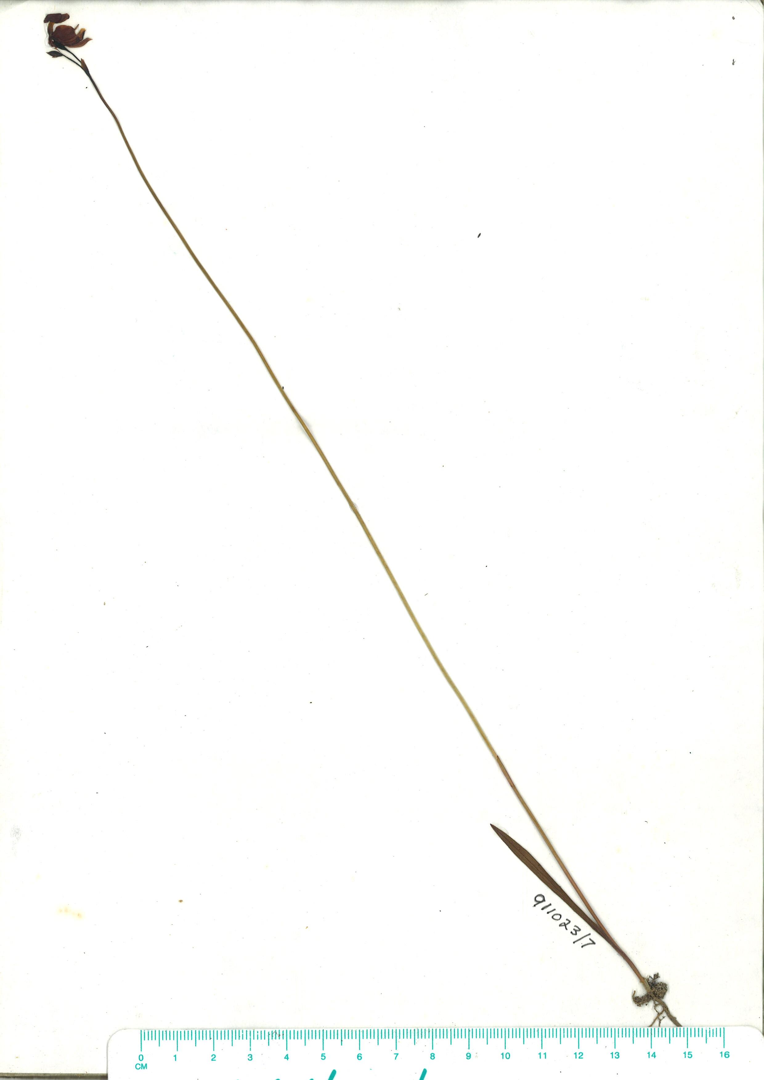 Scanned herbarium image of Calaena major