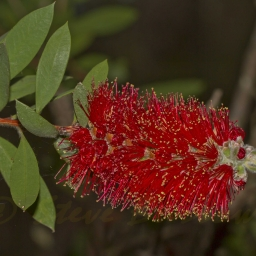 Image courtesy of Steve Burrows callistemon citrinus