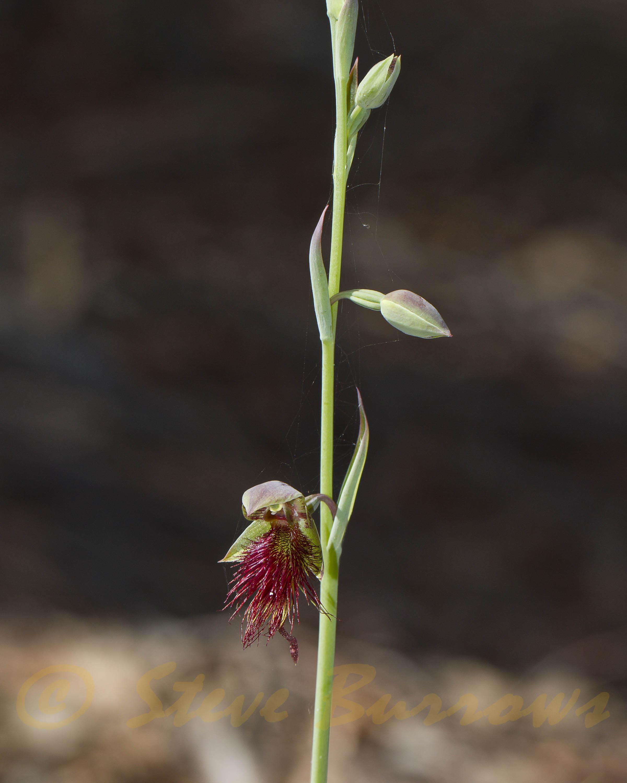 Image courtesy of Steve Burrows Calochilus paludosus