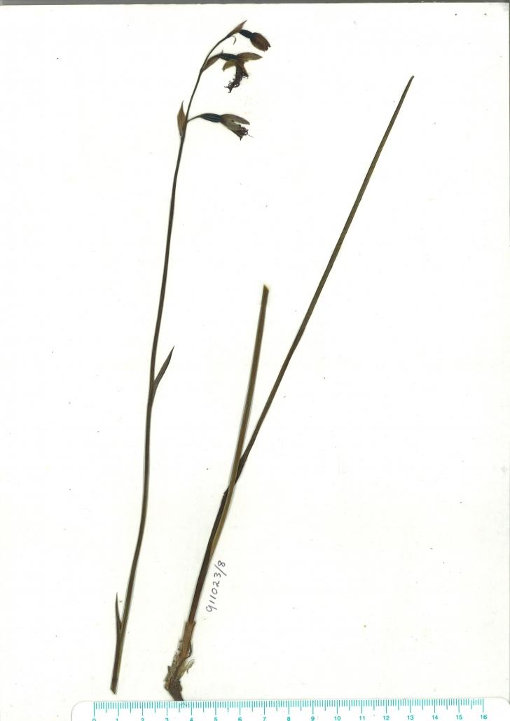 Scanned herbarium image of Calochilus robertsonii