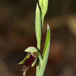 Image courtesy of Steve Burrows Calochilus robertsonii