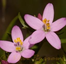 Image courtesy of Steve Burrows Centaurium erythaea
