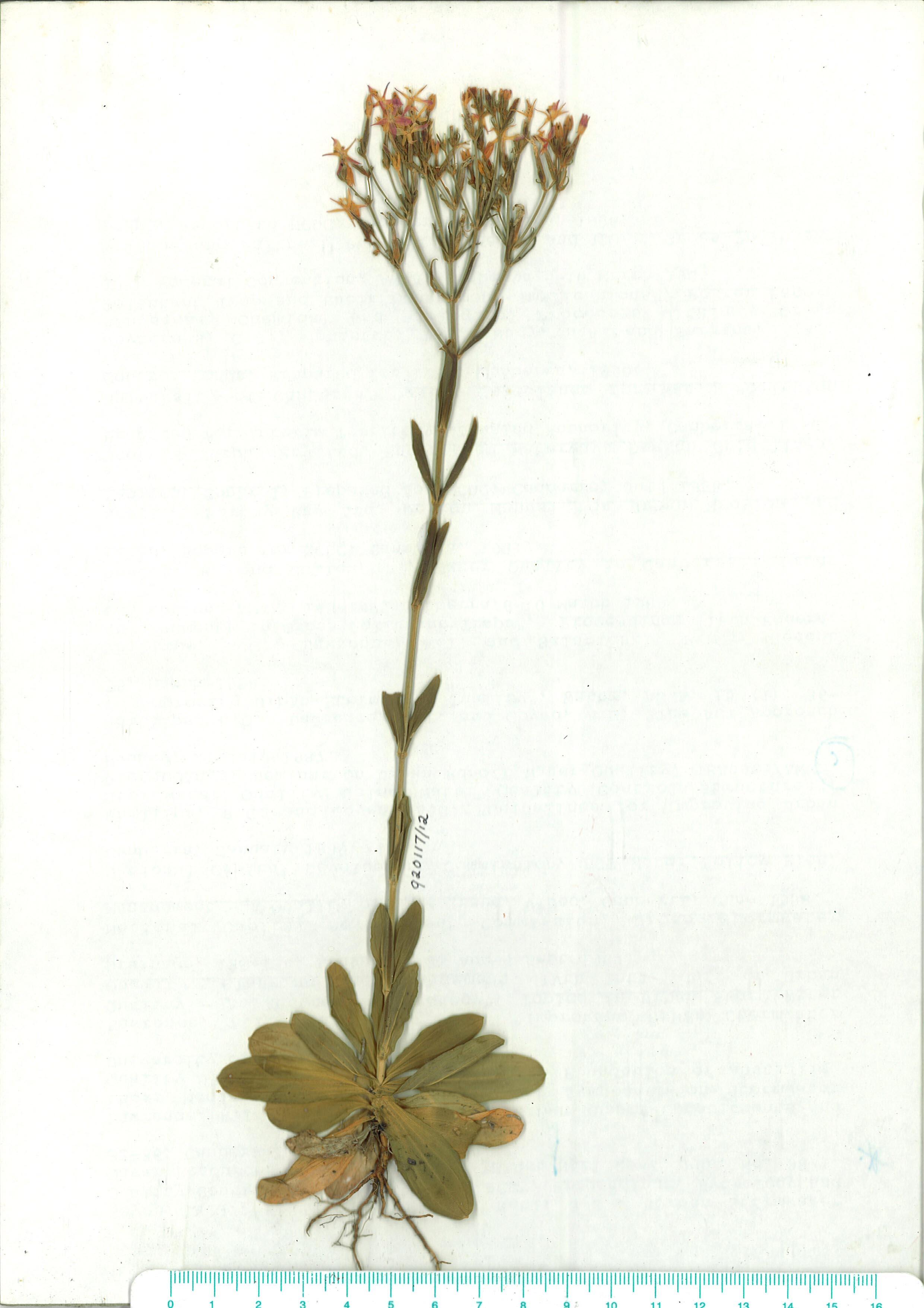 Scanned herbarium image of Centaurium erythaea