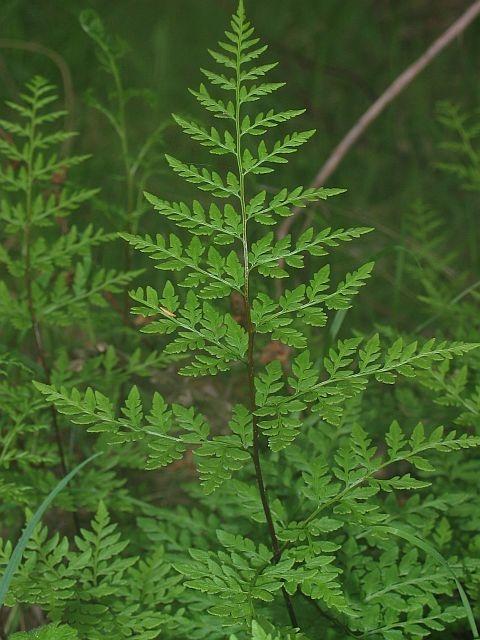 Image courtesy of Plant Database cheilanthes austrotenuifolia