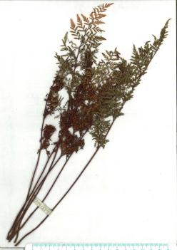 Scanned herbarium image of Cheilanthes austrotenuifolia