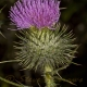 Image courtesy of Steve Burrows Cirsium vulgare