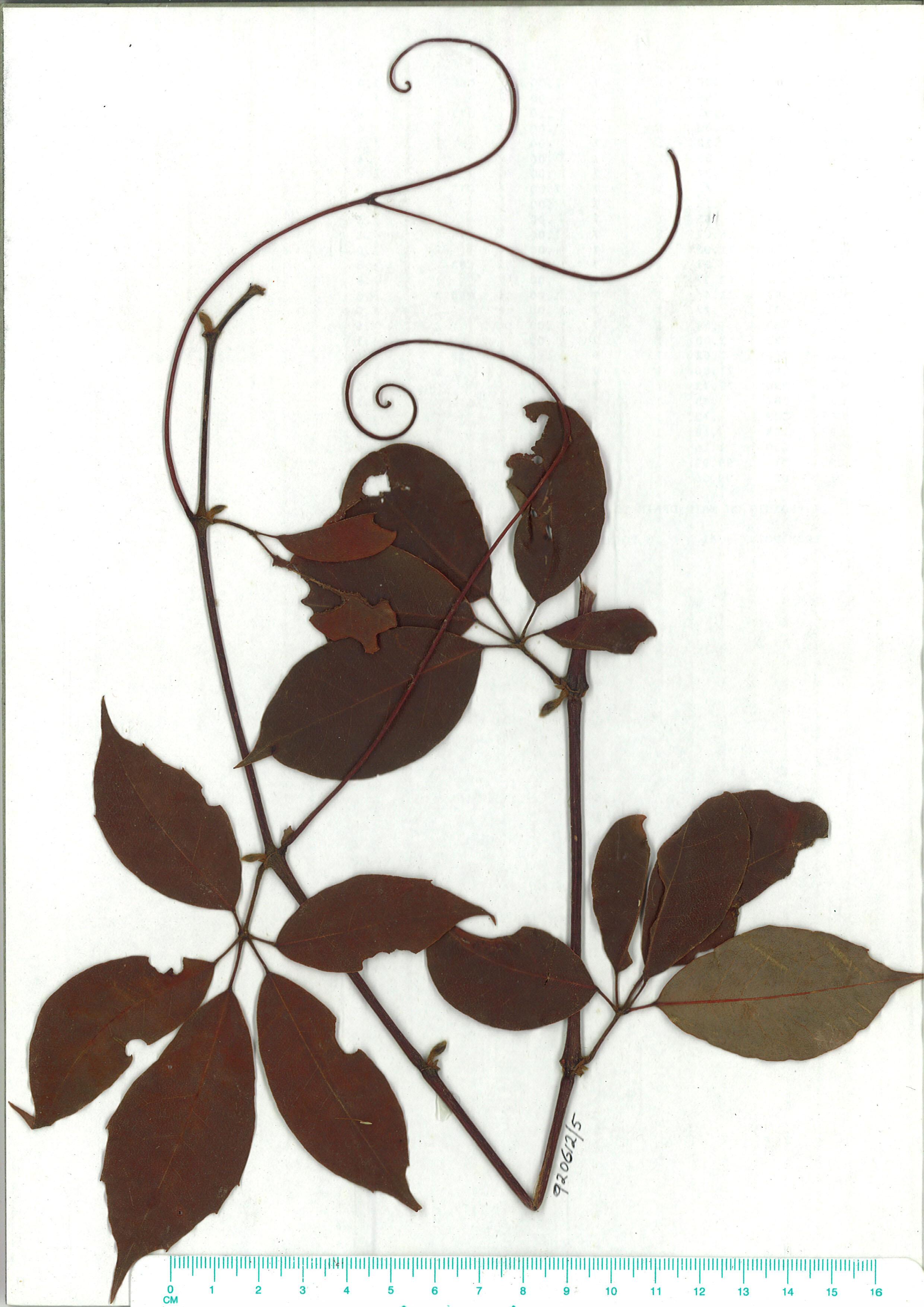 Scanned herbarium image of Cissus hypoglauca