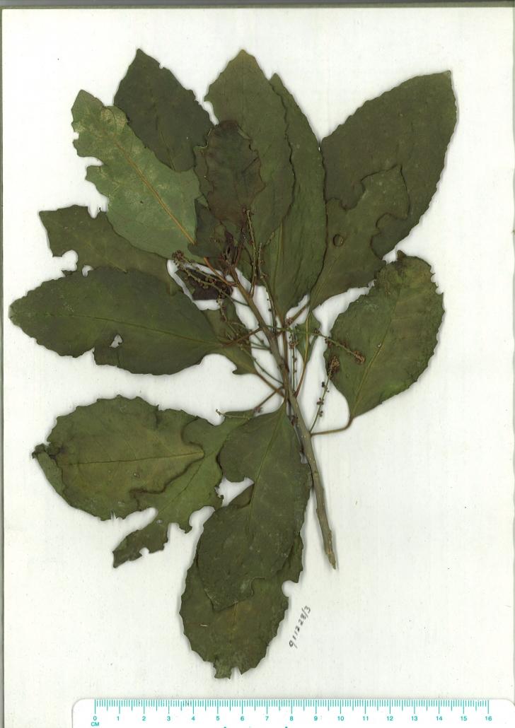 Scanned herbarium image of Claoxylon australe