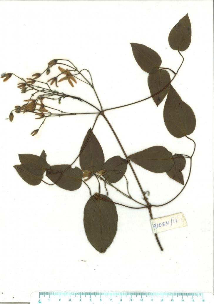 Scanned herbarium image of Clematis glycinoides