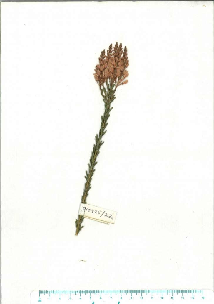 Scanned herbarium image of Comesperma ericinum