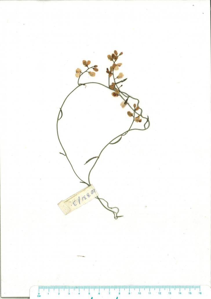Scanned herbarium image of Comesperma volubile