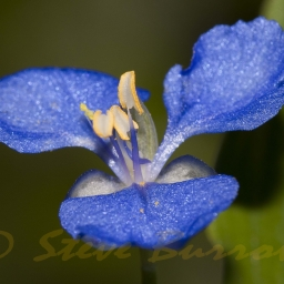 Image courtesy of Steve Burrows Commelina cyanea