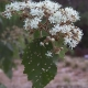 Image courtesy of Plant Database commersonia_rossii brush_kurrajong