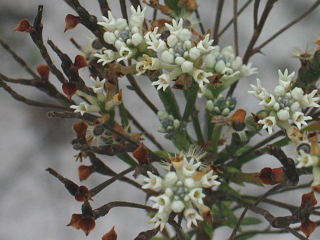 Image courtesy of Plant Database Conospermum taxifolium