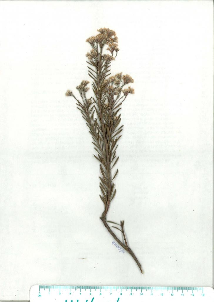 Scanned herbarium image of Conospermum taxifolium