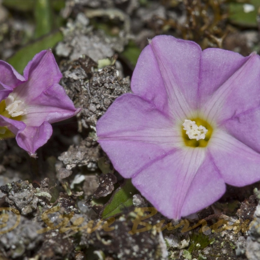 Image courtesy of Steve Burrows Convolvulus erubescens