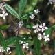 Image courtesy of Plant Databasezieria_smithii