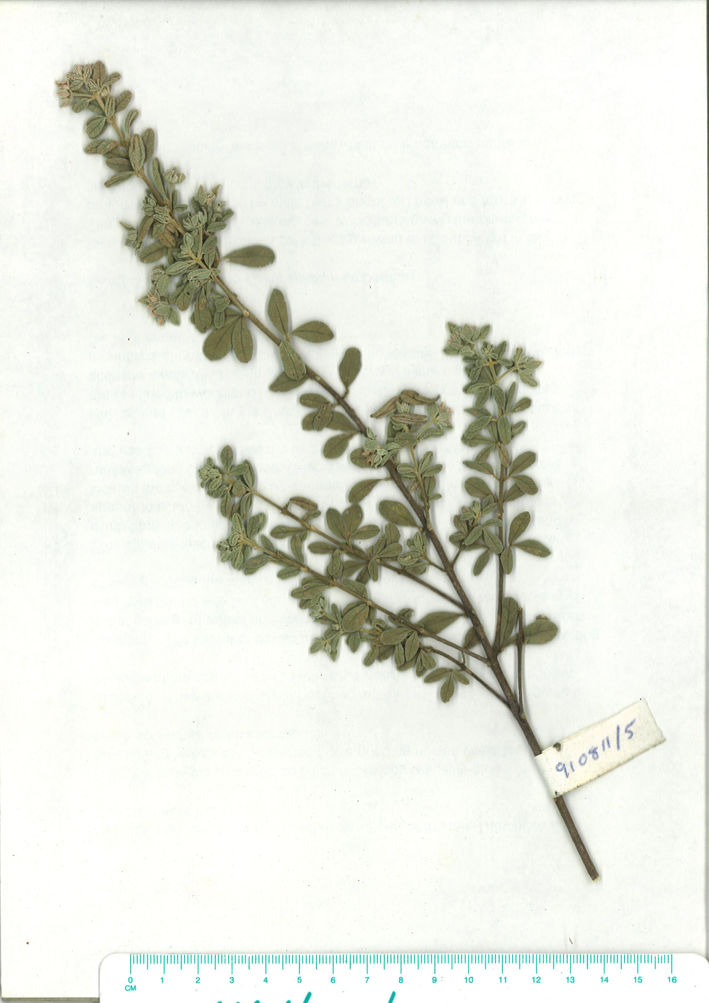 Scanned herbarium image of Zieria littoralis