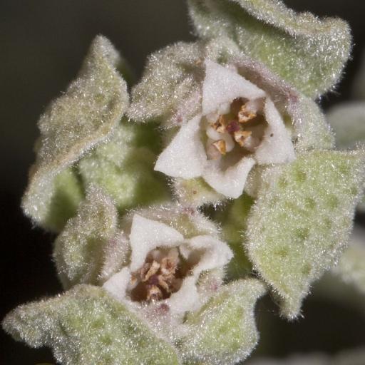 Image courtesty of Steve Burrows Zieria littoralis