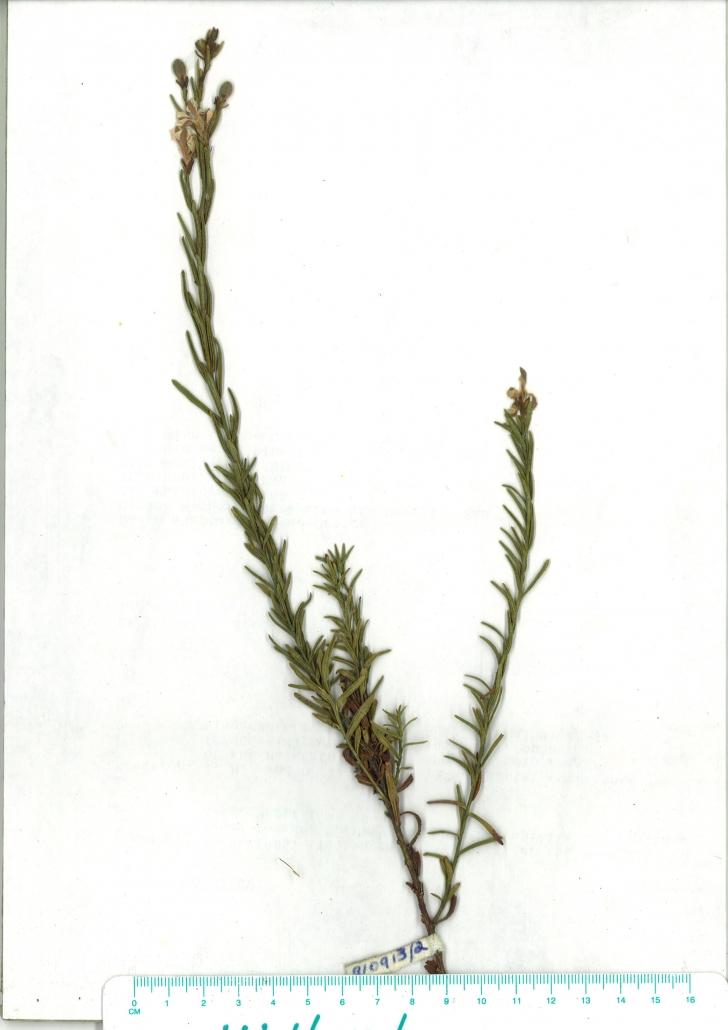 Scanned herbarium image of Coopernookia barbata