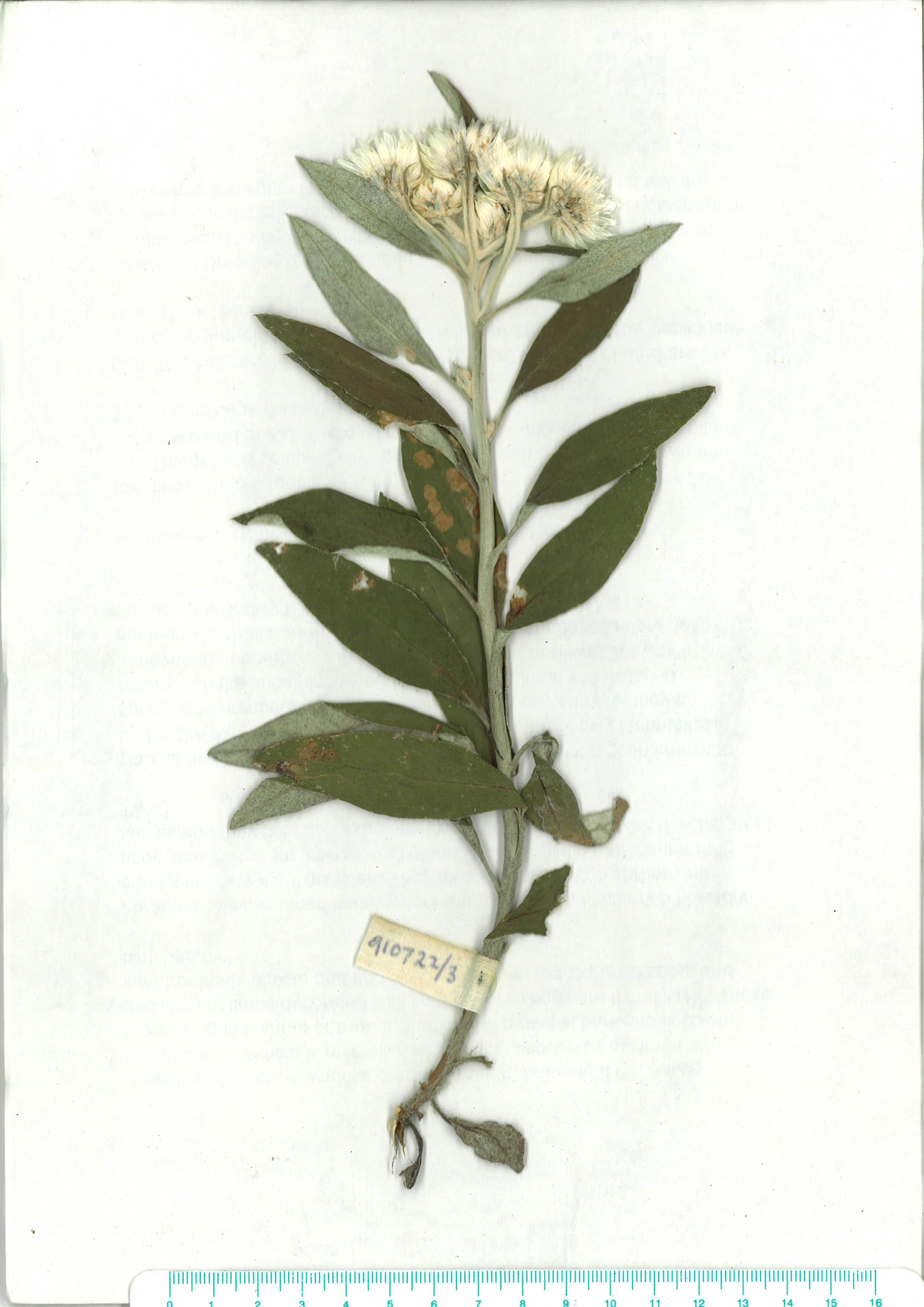 Scanned herbarium image of corinidium elatum