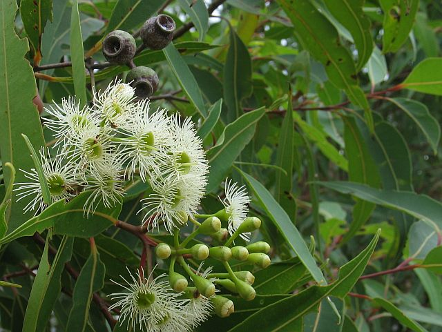 Image courtesy of Plant Database corymbia_gummifera