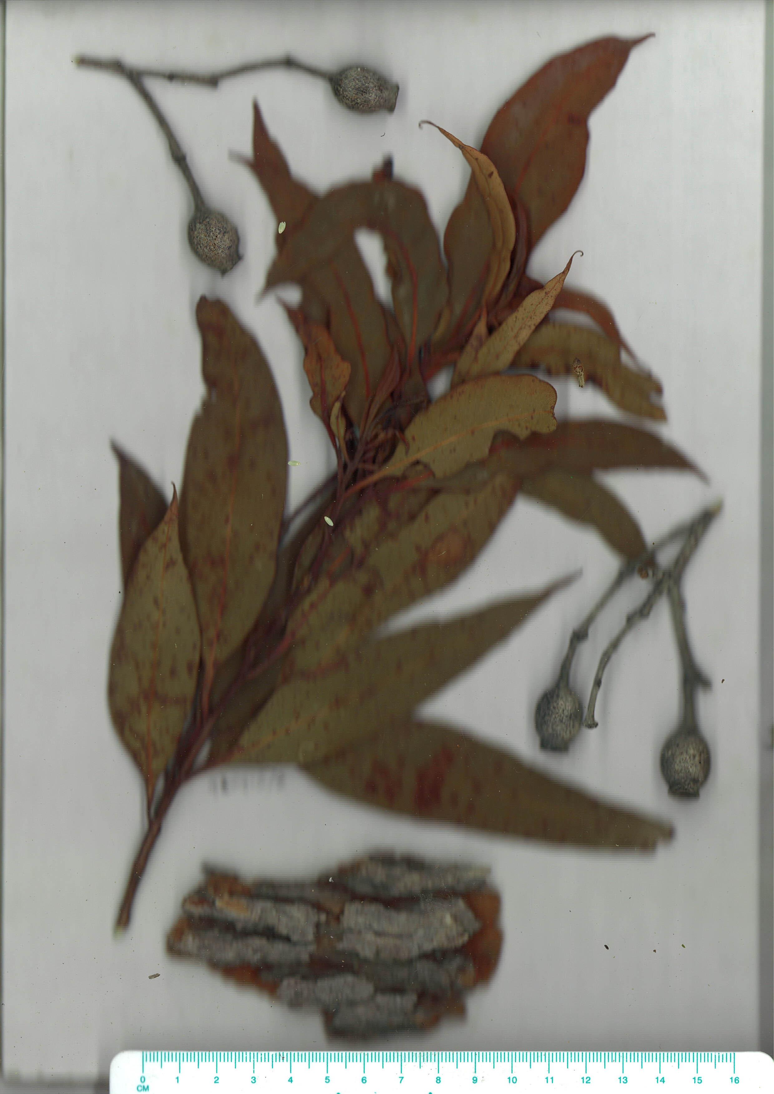 Scanned herbarium image of Corymbia gummifera