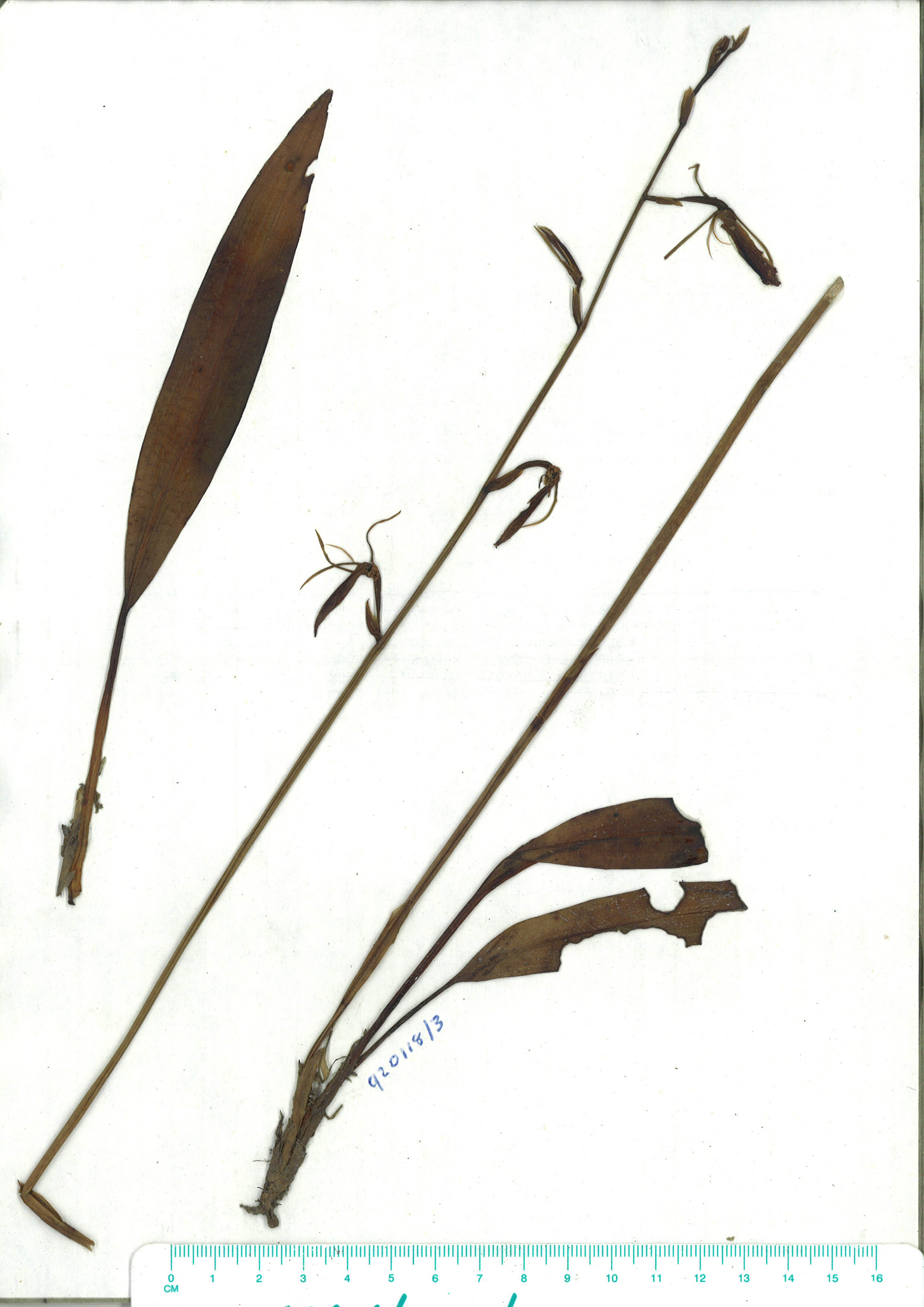 Scanned herbarium image of Cryptostylis subulata