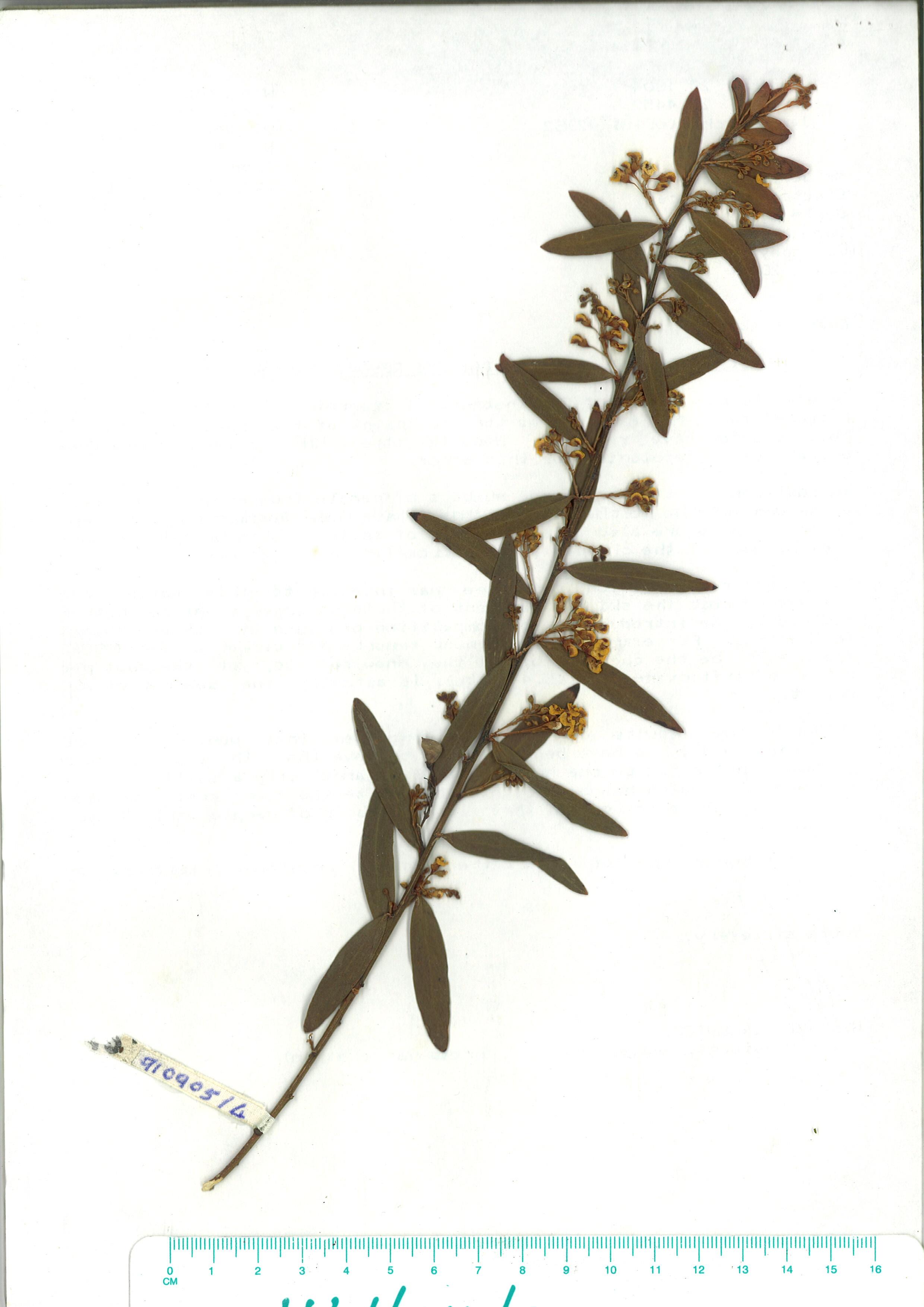 Scanned herbarium image of Daviesia mimosoides subsp-mimosoides