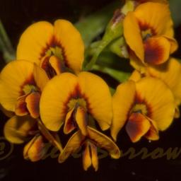 Image courtesy of Steve Burrows Daviesia mimosoides subsp-mimosoides