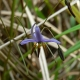 Image courtesy of plant Database Dianella_revoluta