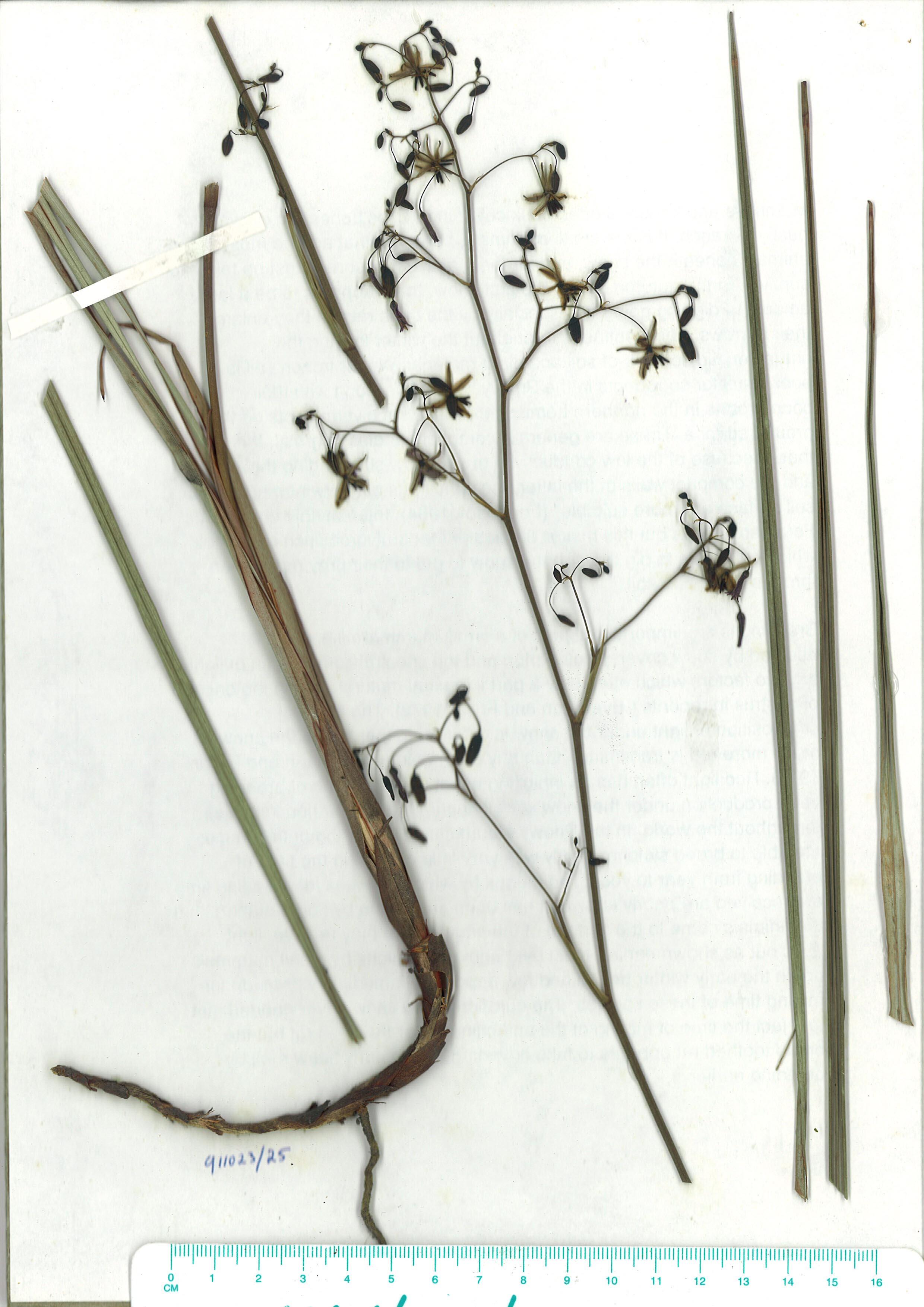 Scanned herbarium image of Dianellarevolutavar-revoluta