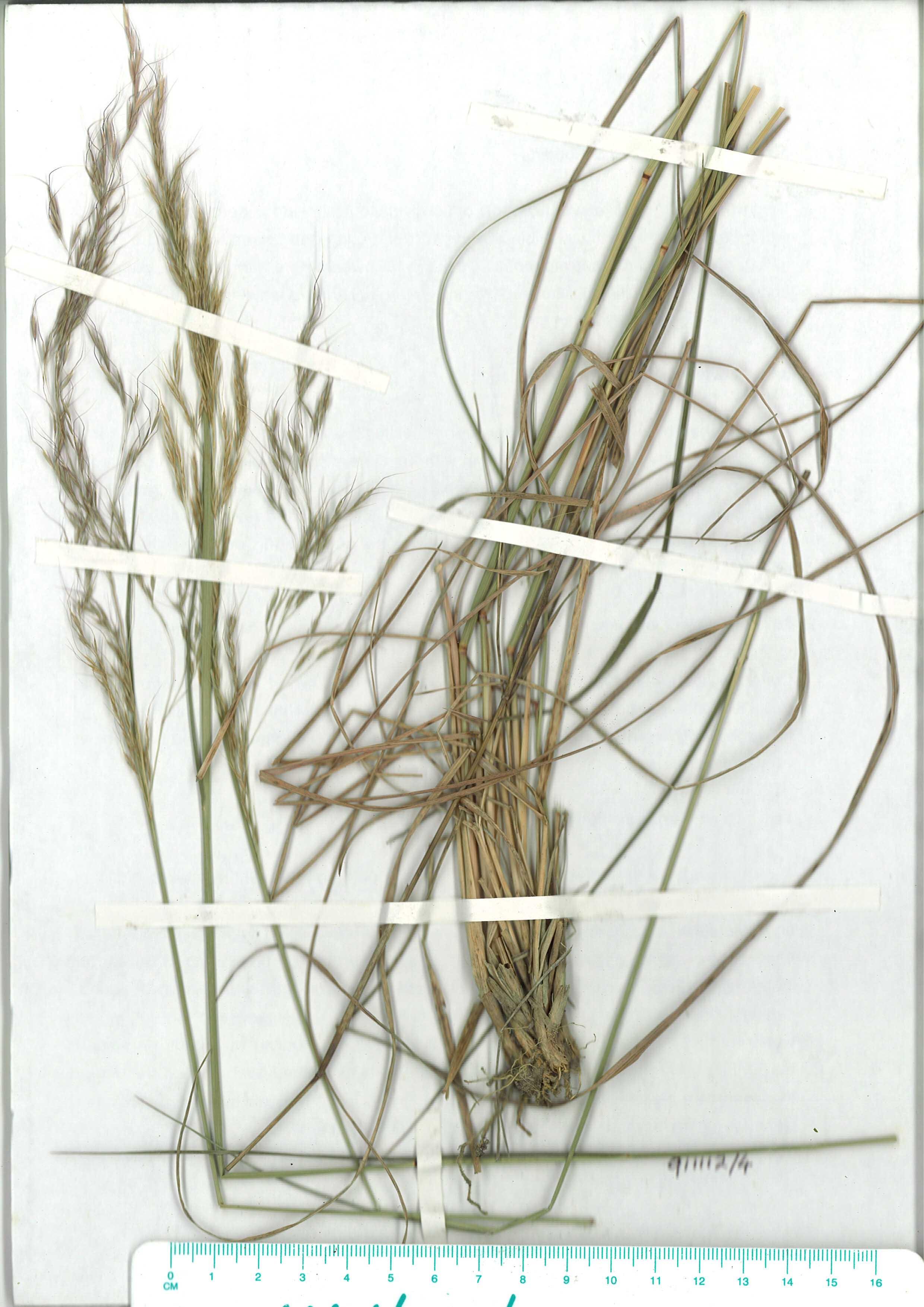 Scanned herbarium image of Dichelachne rara