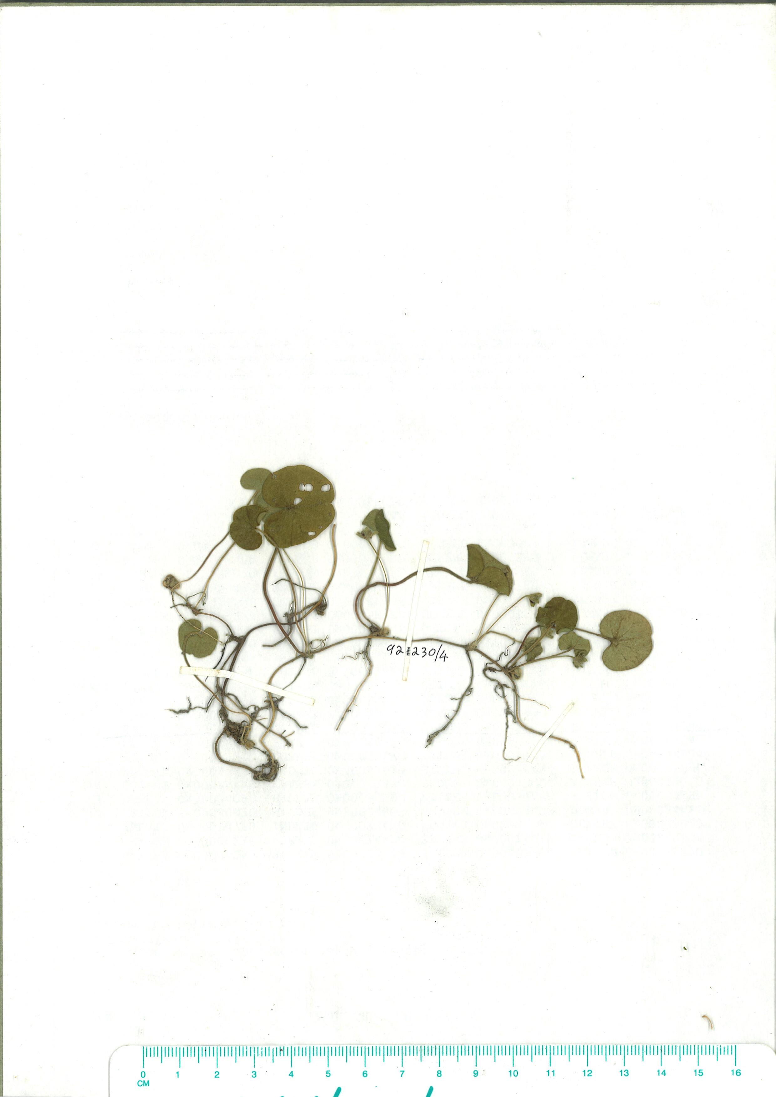 Scanned herbarium image od Dichondra repens