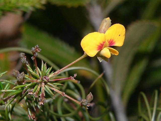 Image courtesy of Plant Database Dillwynia_glaberrima